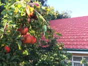 Our guesthouse back in Johannesburg had a pomegranate tree with ripe fruit.